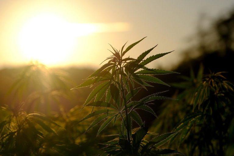 Akcesoria do upraw marihuany w dużym wyborze